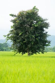 Дерево в рисовом поле.