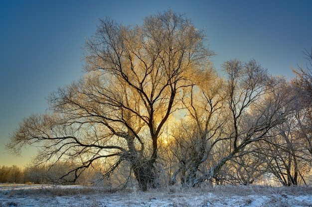 The tree is covered with hoarfrost in the winter