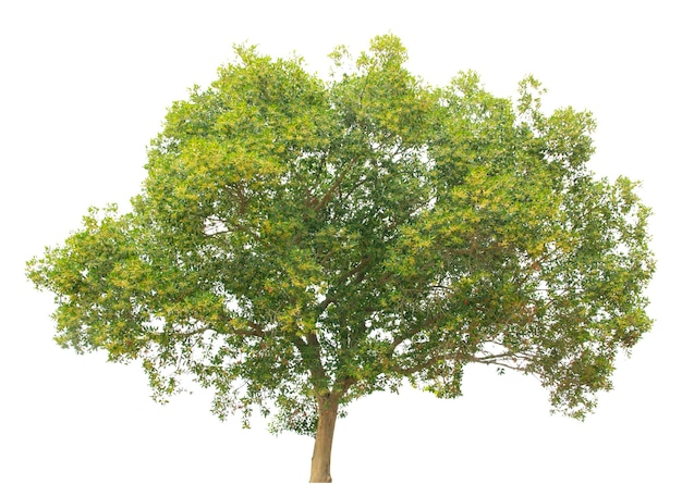白い背景の上の木の分離