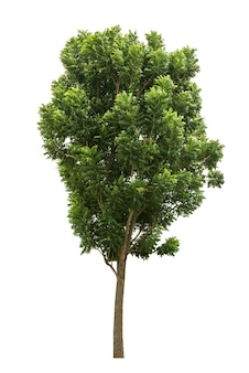 Tree isolated on white for design material