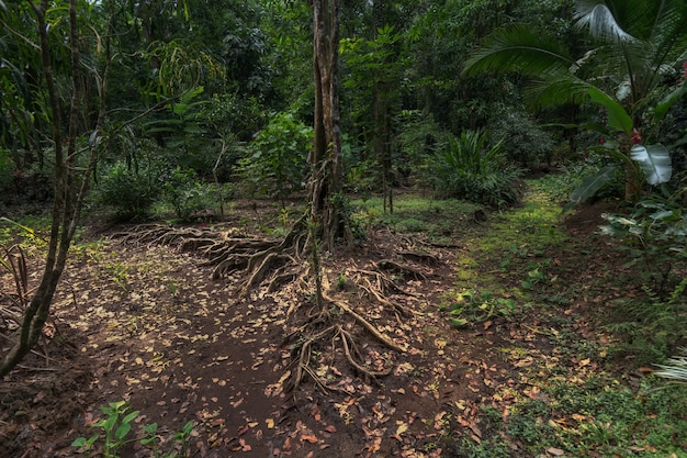 A tree & its roots serve as a bifurcation in the jungle of costa rica