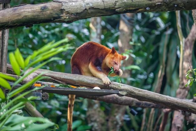 Tree kangaroo sitting on a tree branch