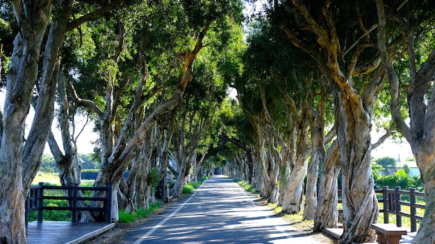 Tree lined road in summer the shadows with trees in sunny day green tunnel for travel shot