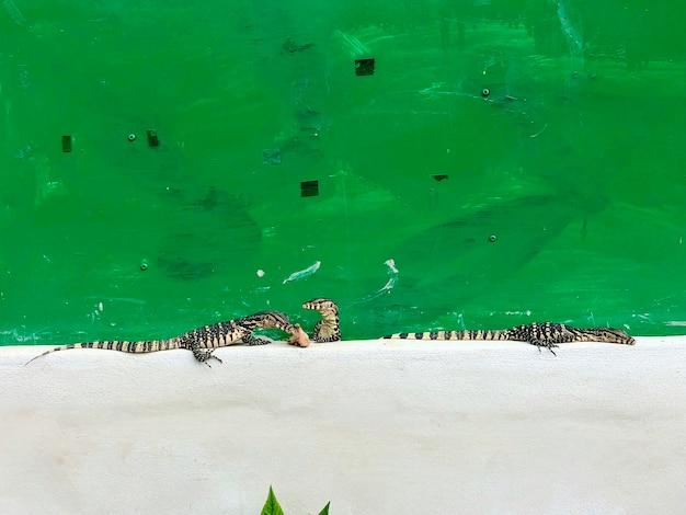 クリーム色のセメントと緑の古い背景に小さな水モニターまたはvaranussalvatorを植え、そのうちの1つは生の手羽先を食べます。