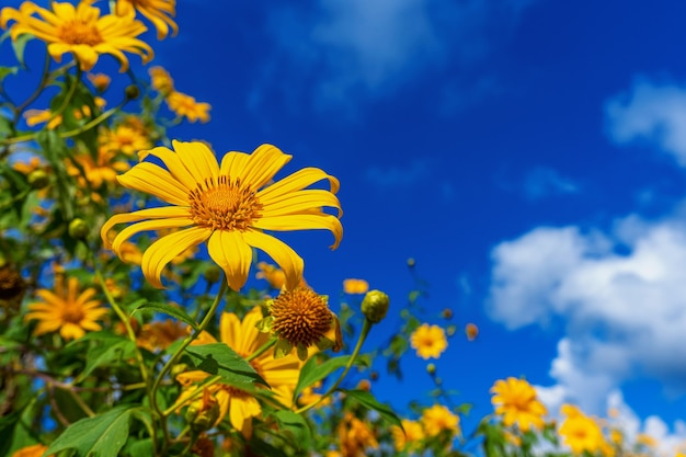 Tree marigold or mexican flower blooming and blue sky.