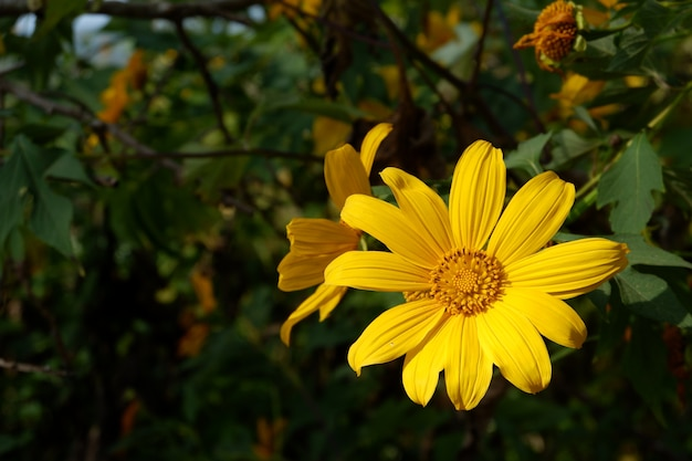 Tree marigold, mexican tournesol, mexican sunflower, japanese sunflower