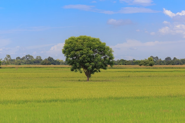 Tree in the middle of rice field