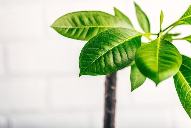 흰색 표면에 frangipani 꽃의 나무입니다.