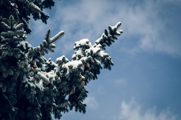 Tree pine branches covered with snow