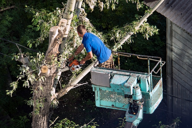 Tree pruning and sawing by a man with a chainsaw, standing on a platform of a mechanical chair lift, on high altitude between the branches of old, big oak tree. branches, timbers and sawdust falling.