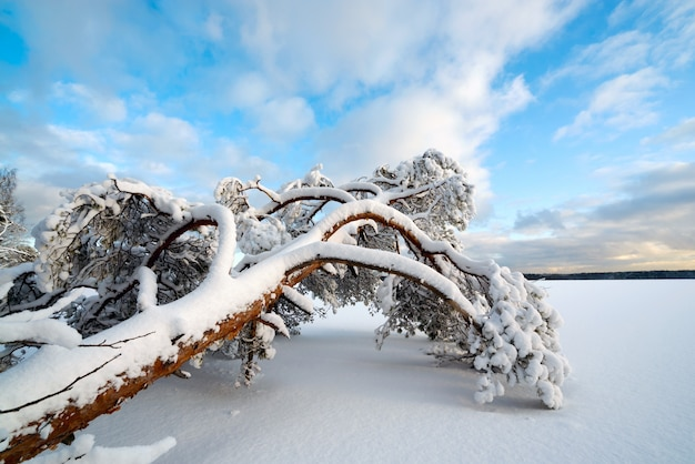 A tree in the snow lies on the shore of a frozen lake.