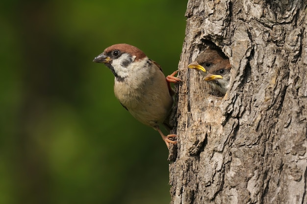 Tree sparrow holding on a bark of nesting tree with little chicks peeking out