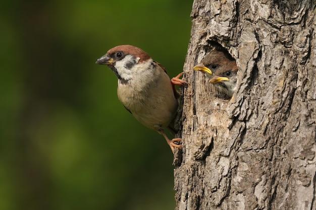 Древесный воробей держится за кору гнездового дерева с маленькими цыплятами, выглядывающими из