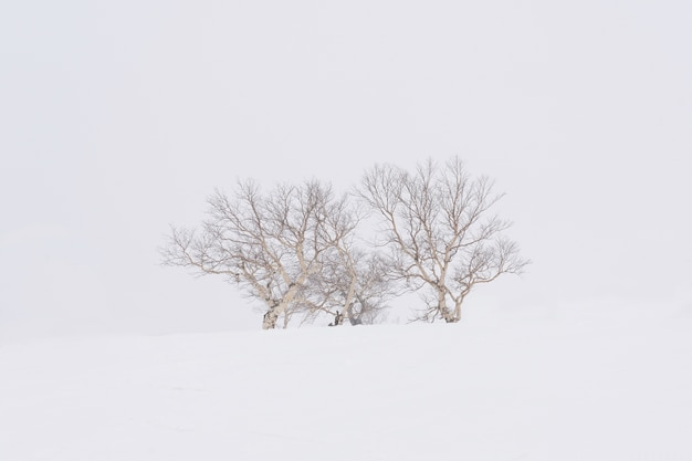 The tree standalone on the fluffy snow in the high of asari peak at hokkaido