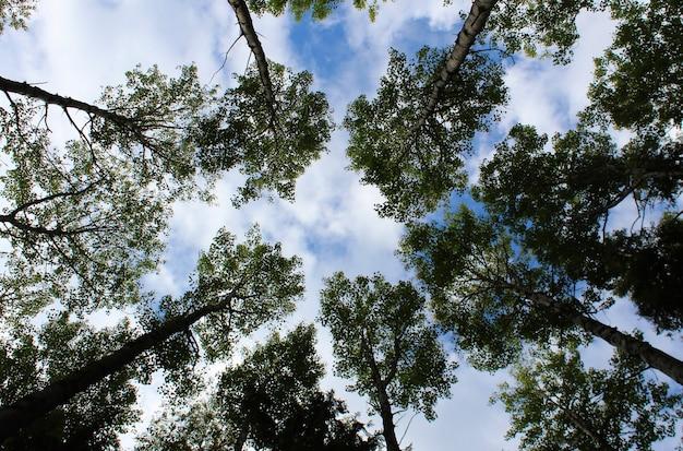 空を背景に下から上へ撮影した木のてっぺん