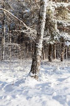 雪に覆われた木の幹。太陽に照らされた冬の森