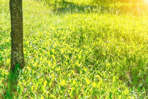 緑の草と太陽の光のフィールドと公園の木の幹