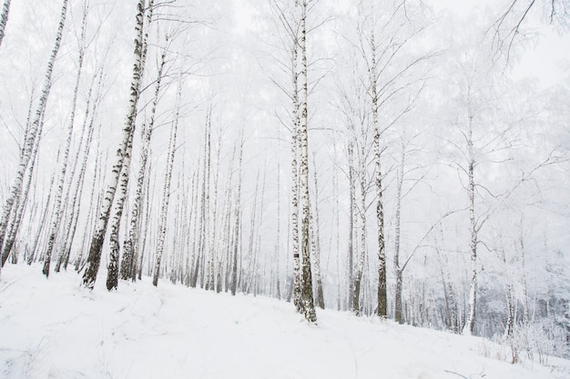 Tree trunk. nature outdoors. . snowy weather in winter. beautiful winter nature background. breathtaking christmas background. birch branch in hoarfrost