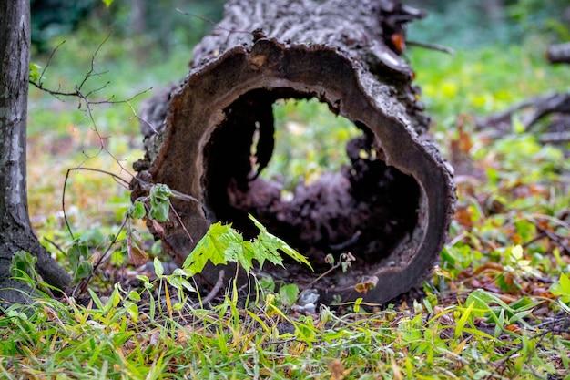 Ствол дерева с пустой гнилой сердцевиной в старом густом лесу_