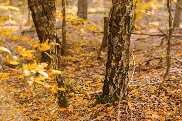 Tree trunks and branches with yellow leaves in the autumn forest