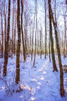 Стволы деревьев в зимнем лесу при мягком свете. голые высокие деревья на солнце. снег на земле. вертикальная рамка.