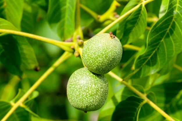 Дерево, которое растет на незрелых зеленых грецких орехах. крупным планом летом. малая глубина резкости