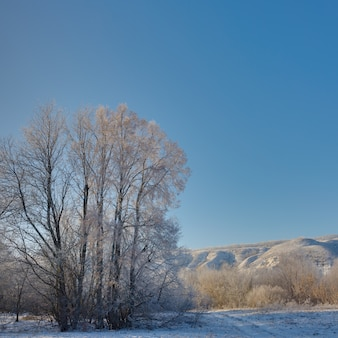 The tree in winter is covered with hoarfrost on sunny day against a cloudless sky.