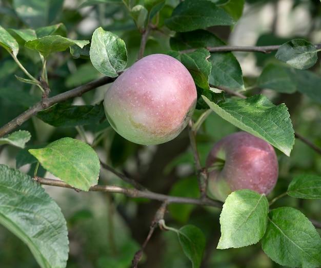 과수원에 사과가 있는 나무