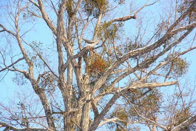 青い空を背景に冬の枝に果実を持つツリー