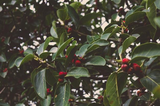 鮮やかな赤い果実の木
