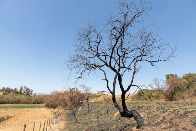 Tree with dry branches in the field with burnt trunk.