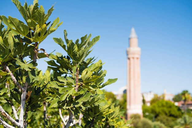 Tree with figs in the foreground. minaret of the mosque in the background.