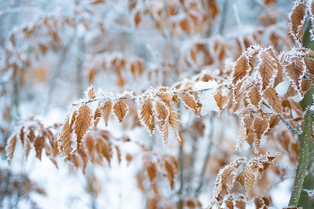 Tree with frozen leaves covered with frost tree branches under the snow frosty day beautiful branch ...