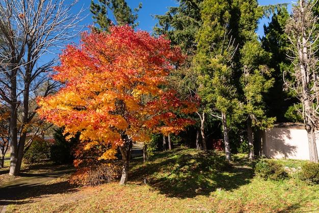 秋に黄金の葉の木。