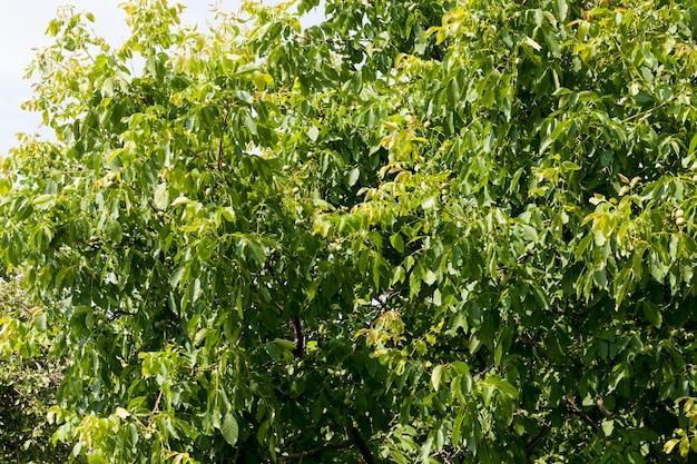 Дерево с зелеными грецкими орехами в ореховодстве, зеленые незрелые грецкие орехи летом