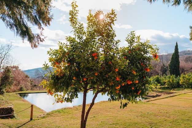 非常に青い空にオレンジがたくさんある木