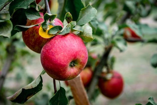 Дерево с красными яблоками осенью.