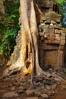 Tree with roots on the ancient ruins the angkor, cambodia
