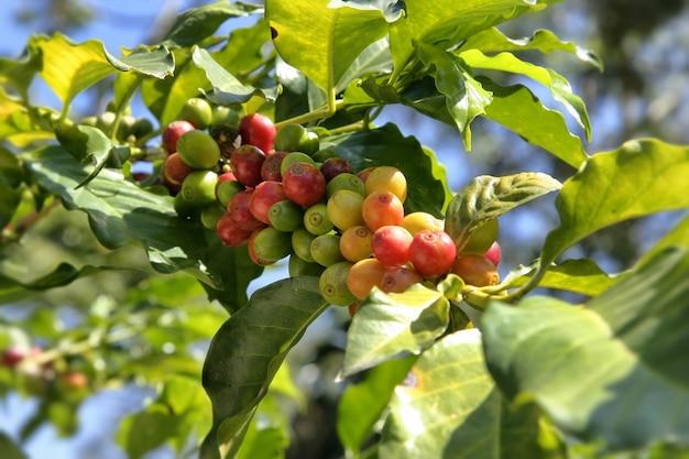 Дерево с маленькими зелеными и красными ягодами на нем