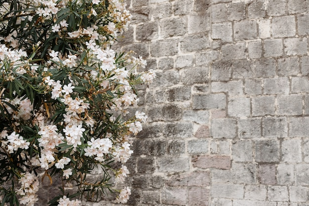 A tree with white flowers against the background of a gray stone wall. background