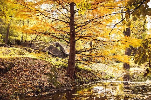 Осенью на пруду в парке растет дерево с широкой желтой листвой.