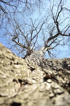 Дерево без листьев. вид снизу