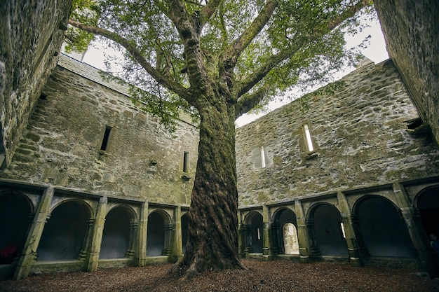 Albero nel cortile dell'abbazia di muckross sotto la luce del sole nel parco nazionale di killarney, irlanda