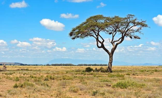 ケニアの樹木アンボセリ国立公園。ケニア