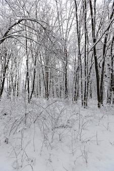 The trees are covered with snow after frosts and snowfalls, a large number of bare deciduous trees in the winter season, snowdrifts in the park or winter forest, there will be footprints in the snow