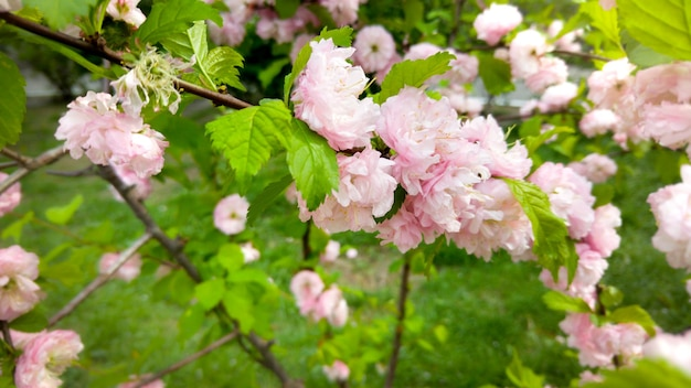 Trees blossoming with pink flowers