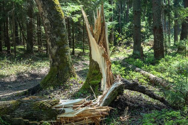 숲에서 폭풍에 의해 부러진 나무. 폭풍 피해. 폭풍 후 숲에 쓰러진 나무. 폭풍 후 숲에서 부러진된 나무 줄기. 허리케인 후 숲에 쓰러진 나무