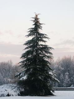 木は自然の雪で覆われて