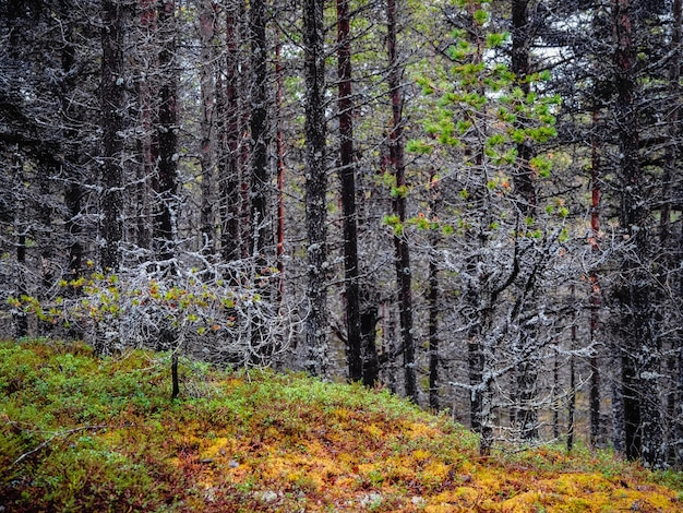 이끼로 덮여있는 나무. 콜라 반도의 깊은 숲.
