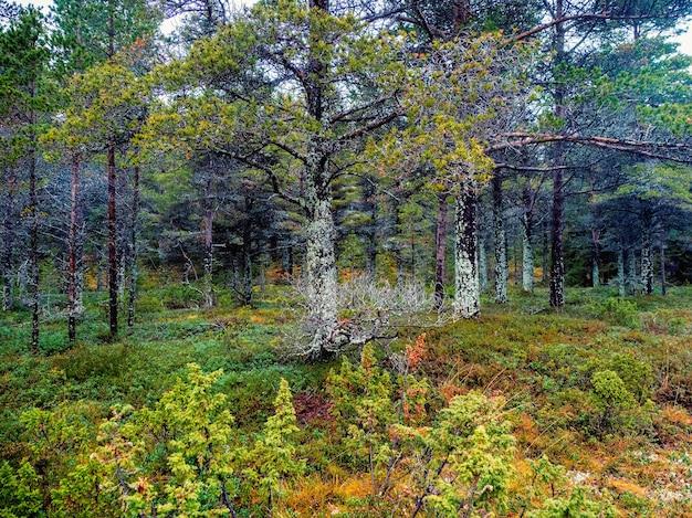 이끼로 덮인 나무 멋진 북부 숲